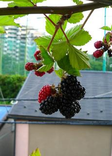 blackberry6.jpg